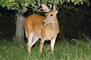 English: Night shot of whitetail deer eating.