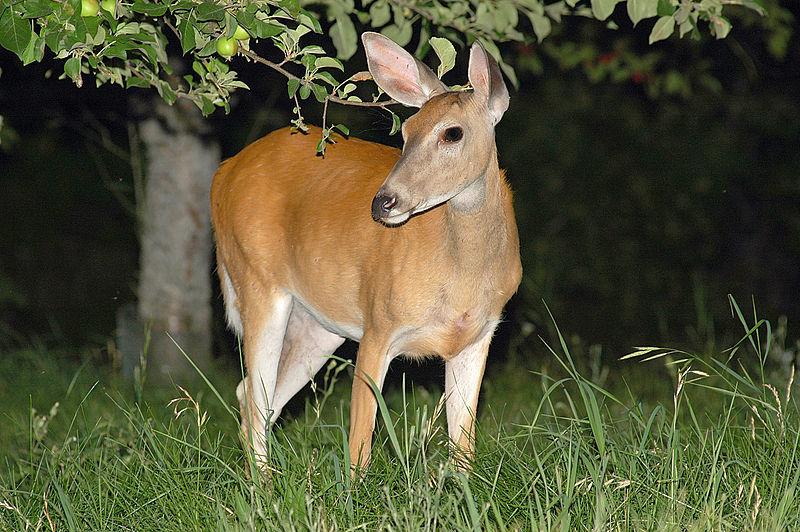 File:Deer Night.jpg