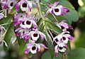 Dendrobium nobile (12863000234).jpg