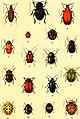 Der Käferfreund. Praktische Unleitung zum Sammeln und Bestimmen der Käfer ((1896)) (20869829631).jpg
