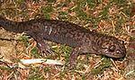 Dicamptodon tenebrosus.jpg