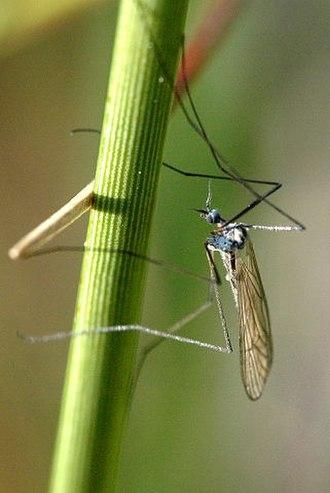 Limoniinae - Image: Dicranoptycha.fusces cens