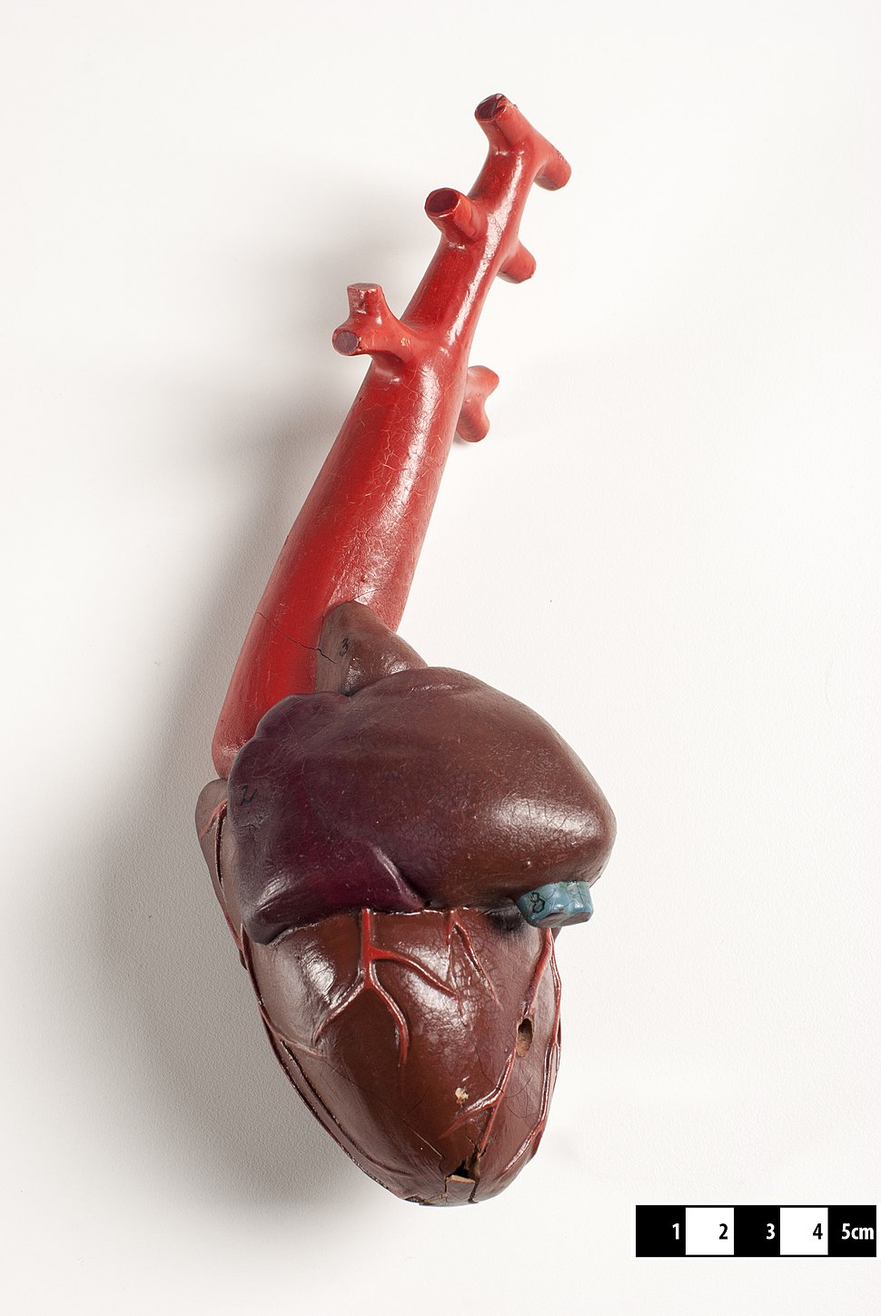 Didactic model of a fish heart--FMVZ USP-09.jpeg
