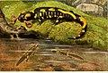 Die Reptilien und Amphibien mitteleuropas (1912) (20916253156).jpg