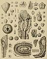 Die Versteinerungen des rheinischen Schichtensystems in Nassau. Mit einer kurzgefassten Geognosie dieses Gebietes und mit steter Berücksichtigung analoger Schichten anderer Lander (1850) (14597496550).jpg