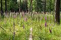 Digitalis purpurea - Purple Foxglove - Roter Fingerhut - Hesse - Germany - 36.jpg
