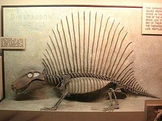 Neural spine sail - Mounted skeleton of Dimetrodon incisivus