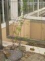 Dioscorea elephantipes - NBGB - IMG 4334.JPG
