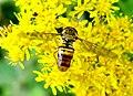 Diptera- Syrphidae- Episyrphus balteatus female (2774875775).jpg