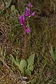 Dodecatheon conjugens 3603.JPG