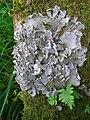 Dog Lichen - Peltigera canina.JPG