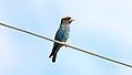 Dollarbird (Eurystomus orientalis) (30552495604).jpg