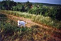Domestic Goat grazing (Hungary).jpg