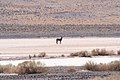 Donkey in Mojave Desert.jpg