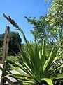 Doryanthes palmeri Zurich 05.jpg