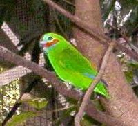 Double-Eyed Fig Parrot.JPG