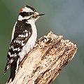 Downy Woodpecker01.jpg