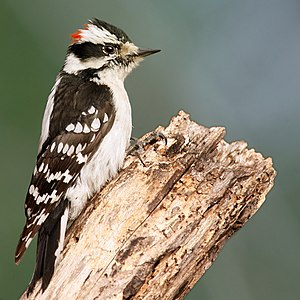 Downy woodpecker - Male