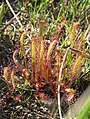 Drosera linearis by reuvenm cropped CC-BY.jpg