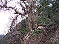 Dry tree in Wana.jpg