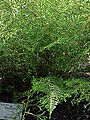 Dryopteris filix-mas linearis1.jpg