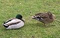 Ducks, Round 'O' Quay, Enniskillen - geograph.org.uk - 749711.jpg