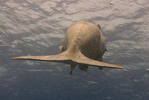 Dugong - Dugong tail fluke