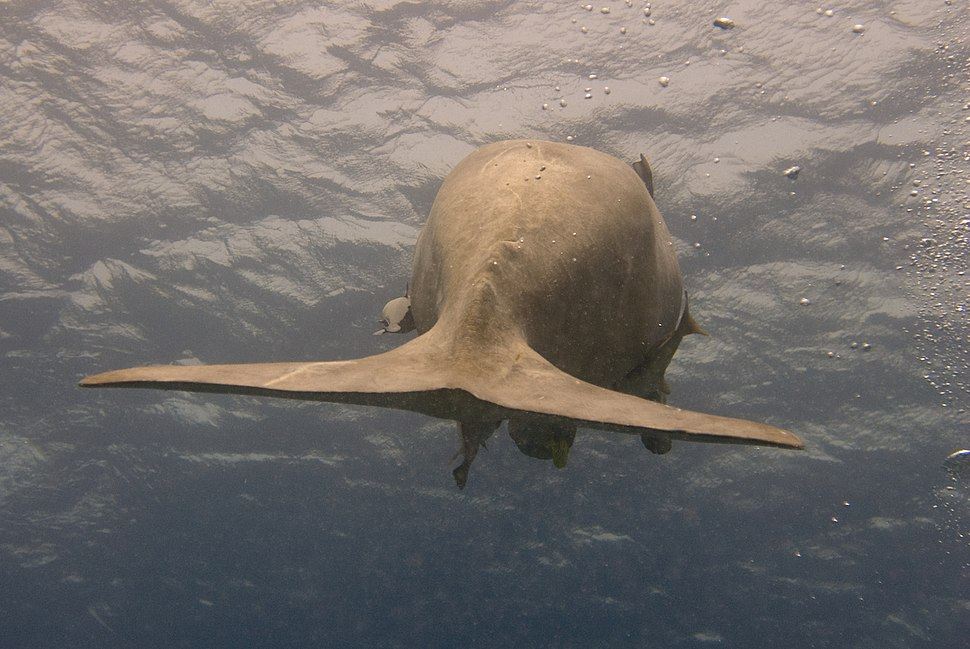 Dugong dugon fin egypt
