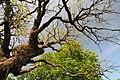 Dumny Oak 71-212-5004 DSC 5094.jpg