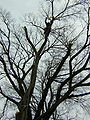 Dutch Elm-2.JPG