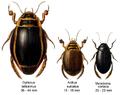 Dytiscidae.png