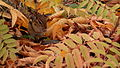 Eastern Chipmunk (Tamias striatus) 02.jpg