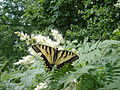 Eastern tiger swallowtail in Southern Maine.jpg