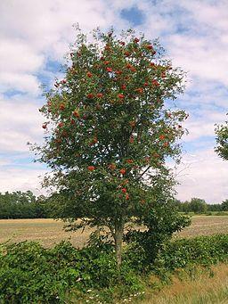 Ebereschebaum
