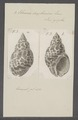 Eburna zeylanica - - Print - Iconographia Zoologica - Special Collections University of Amsterdam - UBAINV0274 074 01 0009.tif