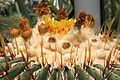 Echinocactus platyacanthus pm.jpg