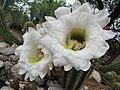 Echinopis candicans.jpg