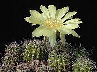 Echinopsis aurea1MW