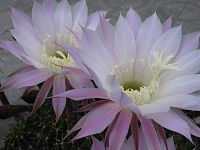Echinopsis oxygona110911511.jpg