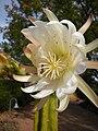 Echinopsis pachanoi San Pedro 018.JPG