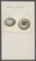 Echinus pustulosus - - Print - Iconographia Zoologica - Special Collections University of Amsterdam - UBAINV0274 107 02 0024.tif