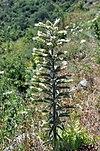 Echium italicum 001