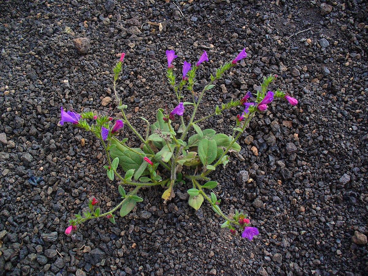 Resultado de imagen de Echium lancerottense
