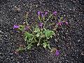 Echium lancerottense 01.JPG