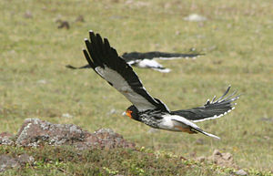 Streifenkarakaras (Phalcoboenus carunculatus) – über einer baumlosen Hochebene gleitend