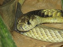Egyptian-Cobra.jpg