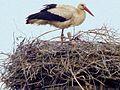 Einer der Lommatzscher Störche (männlicher Vogel) mit einem Jungtier..JPG