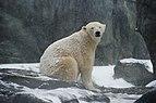 Eisbär (Ursus maritimus) im Schnee.jpg