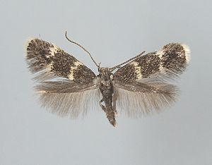 Elachista - Adult male Elachista pullicomella specimen from Tvärminne (Hanko Peninsula, Finland)