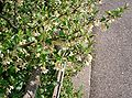 Elaeagnus multiflora3.jpg